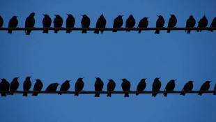 Federal Agency Helps Scare Roosting Crows, Starlings Away From Downtown Indianapolis