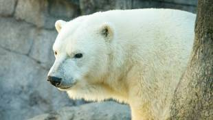 Tundra The Polar Bear Is Moving