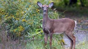 Deer Hunting Proposed At Eagle Creek Park