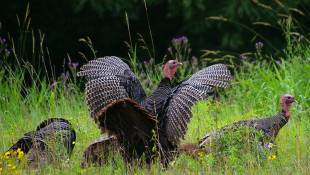 DNR Asking Public To Report Wild Turkey Sightings