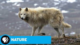 Arctic Wolf Pack | Trailer