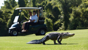 Alligators Find New Territories on Golf Courses