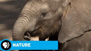 NATURE | Naledi: One Little Elephant: Official Trailer | PBS