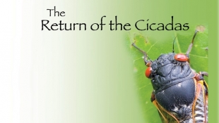 Return of the Cicadas